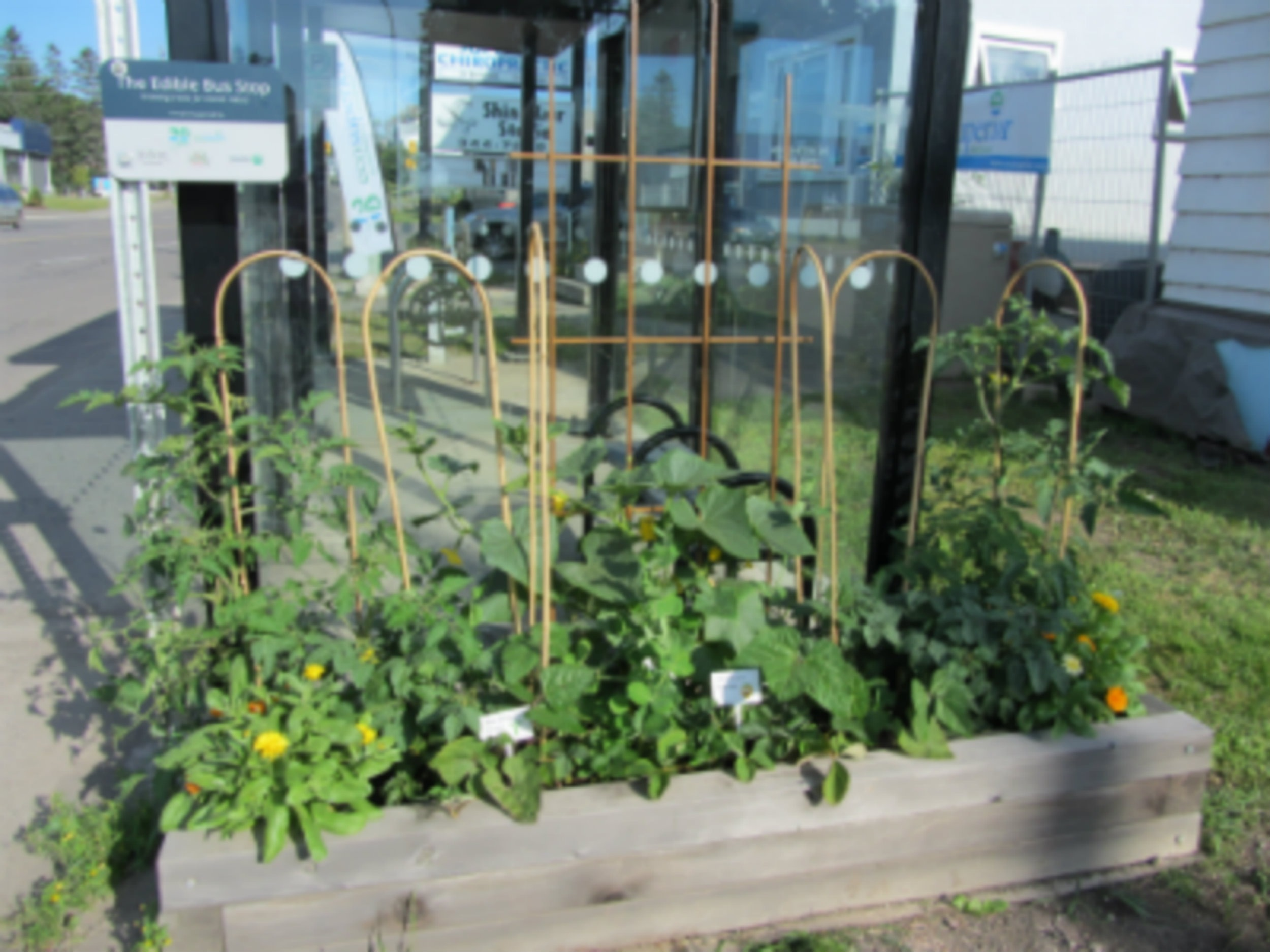 Pedestrian Peas? Thunder Bay's First Edible Bus Stop